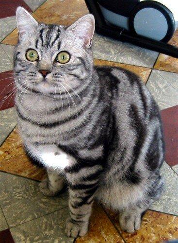bogart- shorthair
