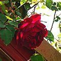 Rose 020516