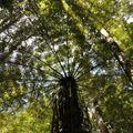 15 - Whangarei - Fougère arborescente