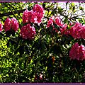 Rhododendron 1005153