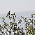 Lesbos oiseaux 13 - Bruant mélanocéphale