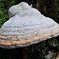 L'amadouvier, fomes fomentarius, parasite du hêtre.