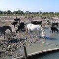 Chevaux et taureaux
