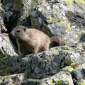 murmeltier (marmotte)
