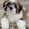 <b>CHIOT</b> CHIEN SHIH TZU MALE OU FEMELLE A VENDRE A ADOPTER 34 30 MONTPELLIER LUNEL HERAULT GARD.