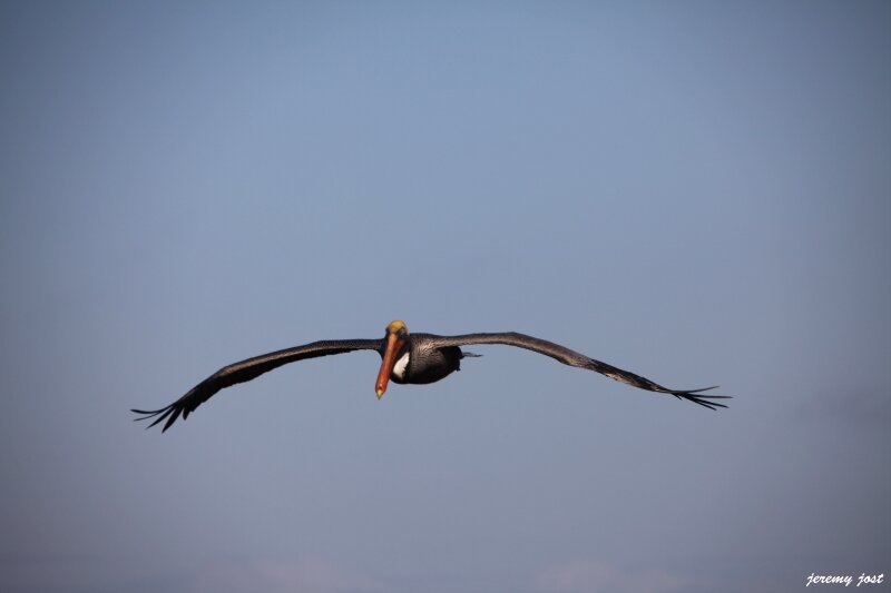 pelican en vol