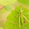Criquet des genèvriers - Euthystira brachyptera