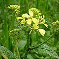 Moutarde des Champs (Sinapis arvensis)