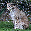 <b>Lynx</b> du Canada