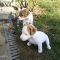 - Le Jack Russell <b>Terrier</b>