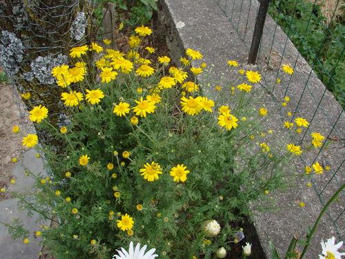 2008 07 21 Mes anthémis des teinturiers en fleurs
