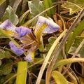 Un iris précoce qui profite du soleil levant à l'abri d'un mur