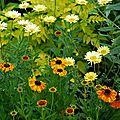 Anthemis x hybrida 'e.c. buxton', helenium 'sahin's early flowerer',