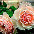 Flore (La rose)
