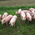 porcs mai 2010 009