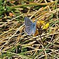 Polyommatus icarus (Azuré de la bugrane, Azuré commun ,Argus bleu)