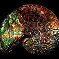 Ammonite-Placentiras SP., Alberta, Canada, Formation de Bearpaw, <b>Crétacé</b> Supérieur, Campanien (83,5-72 millions d'années)