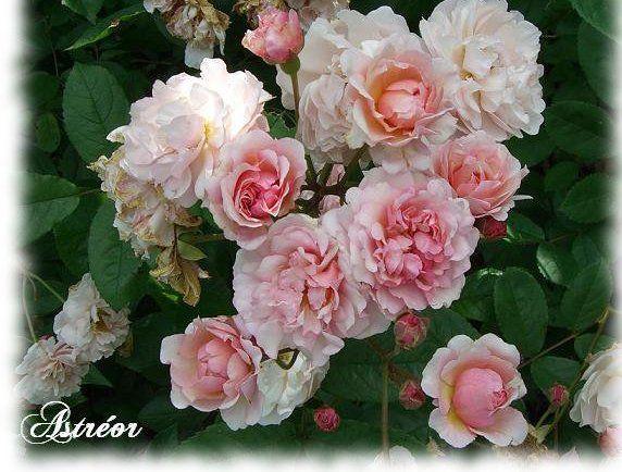 Roses 4