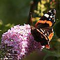 Photos JMP©Koufra 12 - papillons - 30 juillet 2016 - 0044 - blog