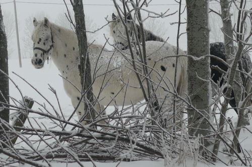 2008 12 11 Les chevaux dans la neige