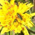 Tolpis-succulenta • Asteraceae envahie d'insectes rouges