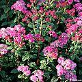 Spirée du japon (spiraea japonica)