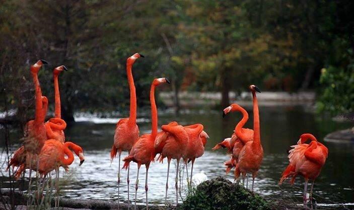 oiseaux flamand rose