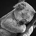 Le koala.
