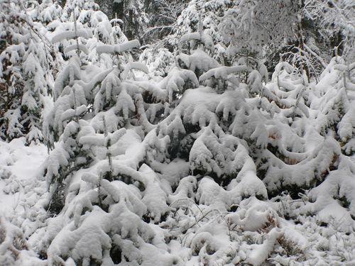 2008 10 30 Les petits sapins sous la neige