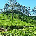 Champs de thé - Haputale