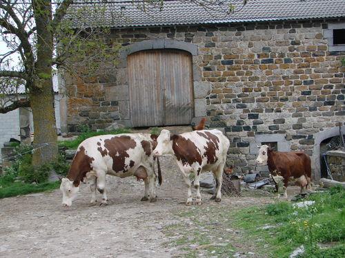 2008 05 21 Les vaches qui sortent dehors pour la première fois de l'année