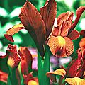 iris z. hollandica bronze beauty