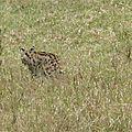 <b>Serval</b> - Afrique de l'Est