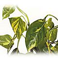 👨🌾 Paysagiste pays Basque et Sud des Landes: Philodendron Pothos plante dépolluante