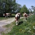 2009 05 25 Les vaches qui partent au champ