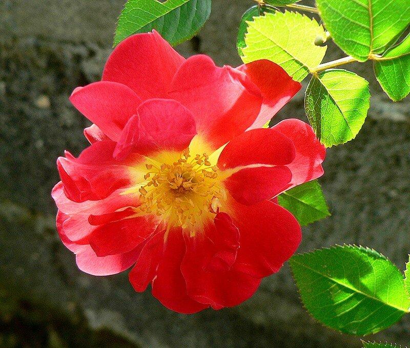 rose Creepy