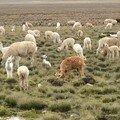 20 - Patapampa, lamas