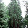 Séquoïas géants • Sequoiadendron giganteum