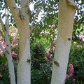 L'écorce décorative du Betula utilis