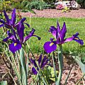 iris z. hollandica purple sentation (jardin)
