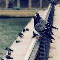 L'avis des pigeons