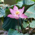 Lotus en fleur