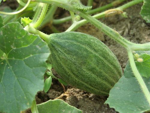 2008 07 28 Mon premier futur melon sous serre