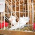 Pigeons Capuccins