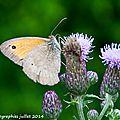 Papillons du jour
