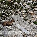 Le <b>Bouquetin</b> des <b>Alpes</b> !