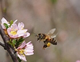 The_bee_collects_nectar