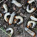 👨🌾 De grosses <b>larves</b> blanches dans mon jardin...par Paysagiste Pays Basque