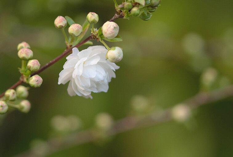 Prunus glandulosa Alba Plena (3)