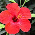 Hibiscus <b>à</b> <b>fleur</b> rouge